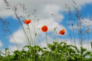 meadow-flower-poppy-wild-poppies.jpg